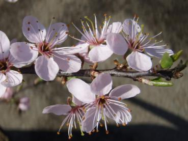 Prunus spinosa Rosea in Blüte