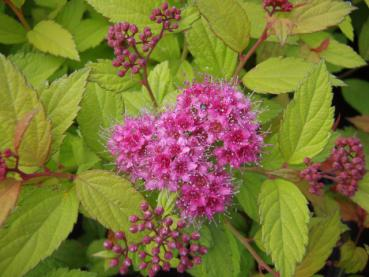 Spiraea japonica Magic Carpet - Sommerspierstrauch Magic Carpet