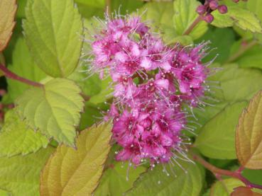 Blüte bei Spiraea japonica Magic Carpet