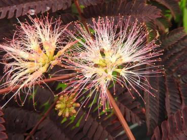 Albizia julibrissin Summer Chocolate - Seidenbaum Summer Chocolate