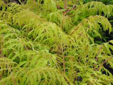 Rhus typhina Tiger Eyes - Essigbaum Tiger Eyes