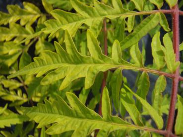 Rhus typhina Tiger Eyes besitzt attraktives gold-gelbes Laub