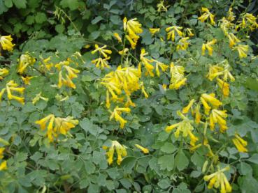 .Corydalis lutea - Lerchensporn, Gelber Lerchensporn