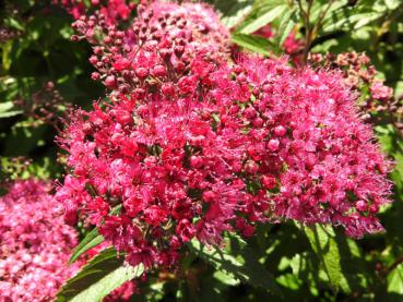 Spiraea japonica Neon Flash - Zwergspiere Neon Flash