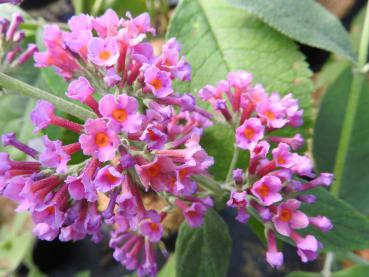 Buddleja Flower Power - Sommerflieder Flower Power