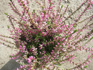 Calluna vulgaris Red Bud