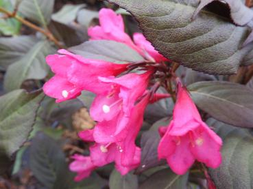Weigela florida Minor Black - Weigelie Minor Black