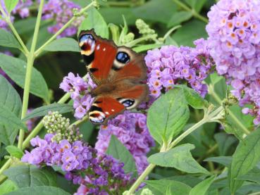 Buddleja Blue Chip - Sommerflieder Blue Chip