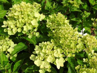 Hydrangea paniculata Little Lime® in Blüte