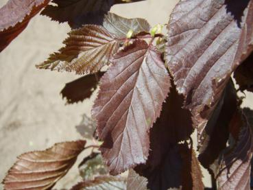 Corylus avellana Red Majestic