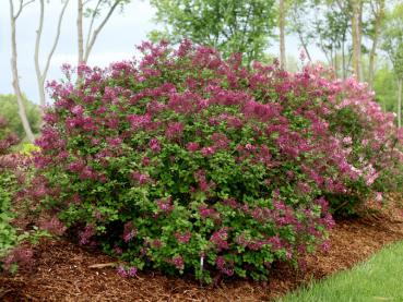 Syringa microphylla Dark Purple - Herbstflieder Dark Purple