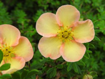 Potentilla fruticosa Daydawn