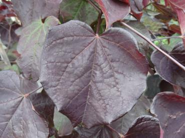 Cercis canadensis Ruby Falls®