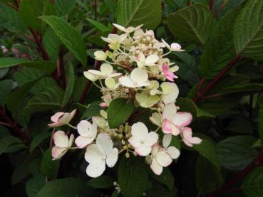 Hydrangea paniculata Little Quick Fire® - Rispenhortensie Little Quick Fire®