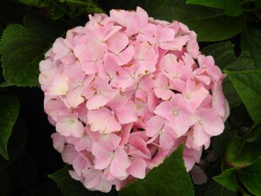 Hydrangea macrophylla Belle Seduction® - Bauernhortensie Belle Seduction®