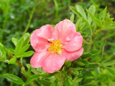Potentilla fruticosa Pink Paradise - Fingerstrauch Pink Paradise