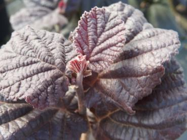 Corylus Anny´s Purple Dream - Bluthasel Anny´s Purple Dream