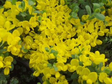 Cytisus decumbens - Kissenginster