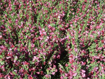 Cytisus scoparius Roter Favorit - Edelginster Roter Favorit