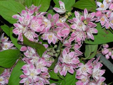 Deutzia Strawberry Fields - Erdbeerduft-Deutzie