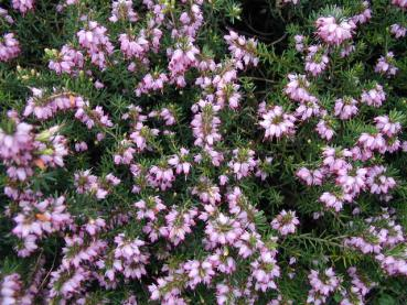 Erica carnea Winter Beauty