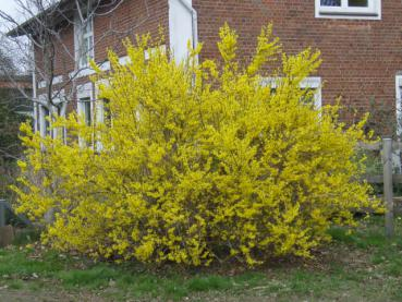 Forsythia Lynwood Gold