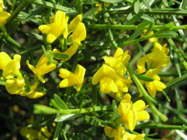 Genista pilosa Lemon Spreader - Sandginster Lemon Spreader