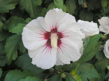 Hibiscus Hybride Red Heart