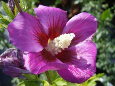 Hibiscus Hybride Russian Violet