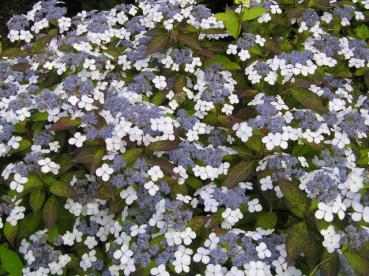 Hydrangea serrata Blue Bird - Purpurhortensia Blue Bird