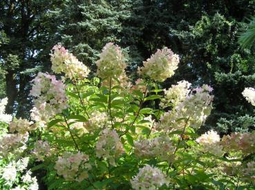 Hydrangea paniculata Unique - Rispenhortensie Unique
