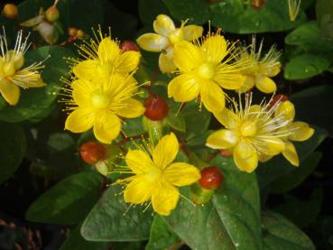 Hypericum Excellent Flair - Johanniskraut Excellent Flair