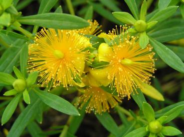 Hypericum Goldball - Johanniskraut Goldball