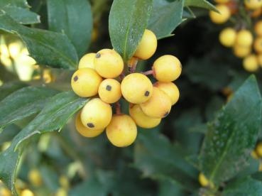 Ilex meserveae Golden Girl - Amerikanischer Ilex Golden Girl