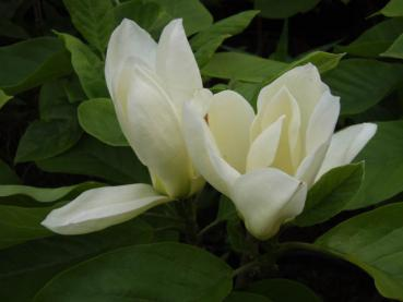 Magnolia Yellow River - Yulan- Magnolie Yellow River
