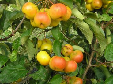 Malus Hybride Butterball - Zierapfel Butterball