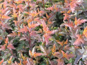 Physocarpus opulifolius Diable d'Or ® - Fasanenspiere Diable d'Or ®
