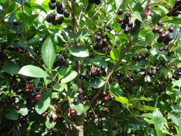 Reich fruchtend: Aronia prunifolia im September