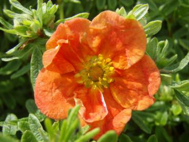 Potentilla fruticosa Red Ace - Fingerstrauch Red Ace