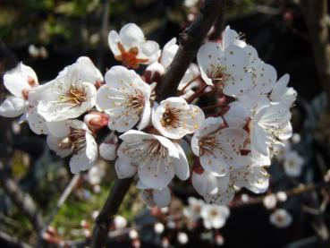 Prunus cerasifera Hollywood, Prunus cerasifera Trailblazer, blodplommon Hollywood, blodplommon Trailblazer