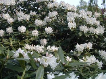 Rododendron Cunningham's White, Rhododendron Hybride Cunningham's White