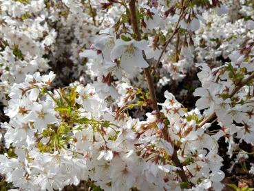 Prunus kurilensis Brilliant
