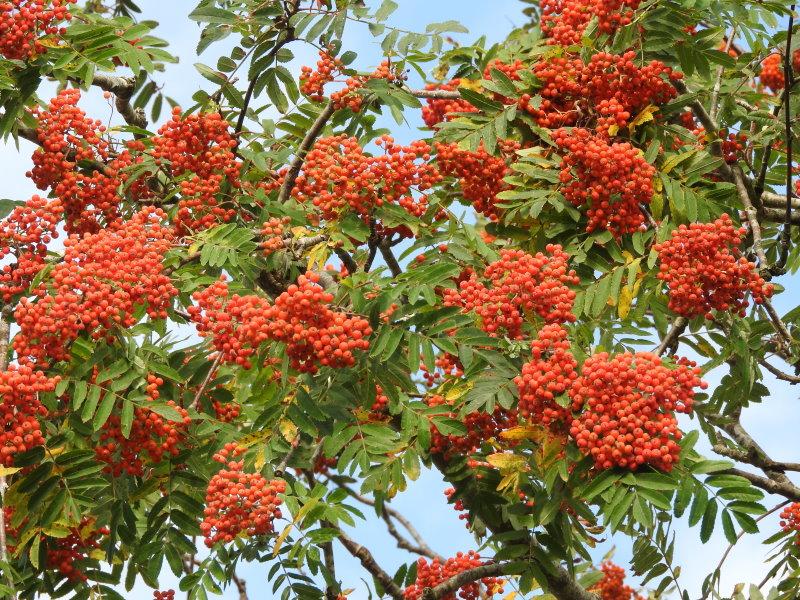 25 Vogelbeere Eberesche Sorbus aucuparia  50-80 cm wurzelnackt