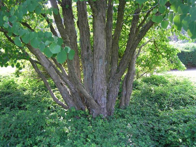 Baumschule Eggert Blütensträucher Baumschulen Heckenpflanzen Lebkuchenbaum Cercidiphyllum Japonicum Direkt Von Der Baumschule Bestellen