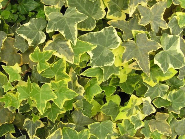 10 Efeu Hedera Helix Immergrüner Dekorativer Bodendecker Kletterpflanze