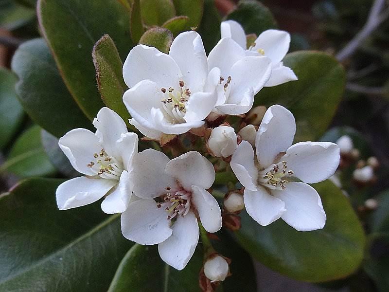Japanische Weißdolde Rhaphiolepis umbellata