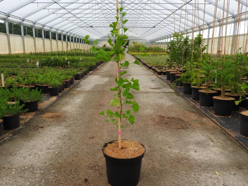 kanadischer judasbaum merlot