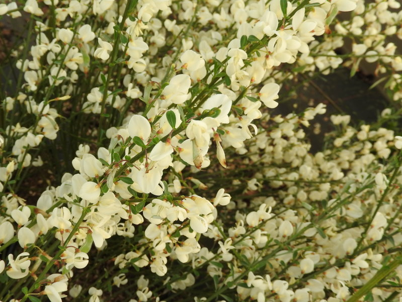 Weißer Ginster 40-60cm Cytisus praecox