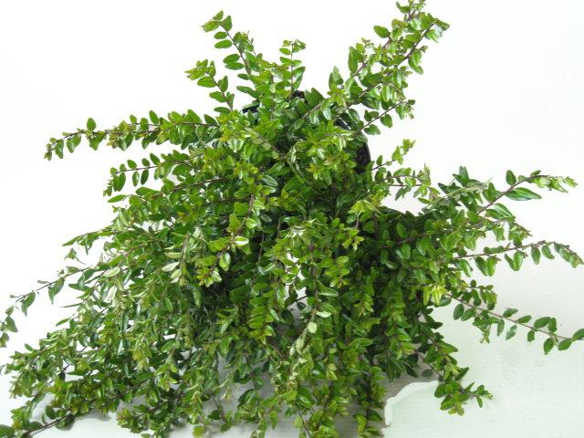 10 Stück Böschungsmyrthe Lonicera nitida /'Elegant/' Bodendecker Heckenmyrthe