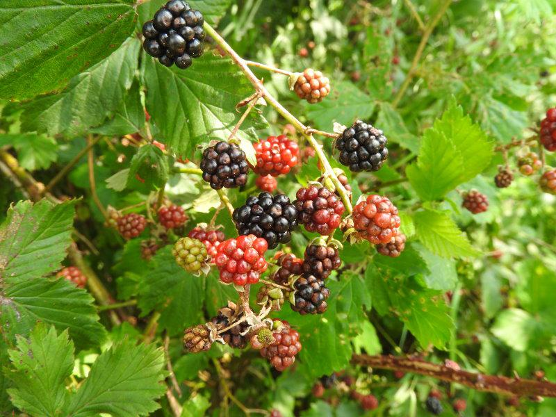 Geliebte Brombeere, Wilde Brombeere, Rubus fruticosus direkt vom &HT_42